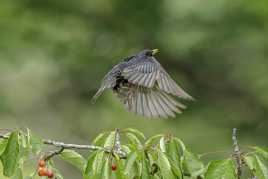 Voleur de cerises