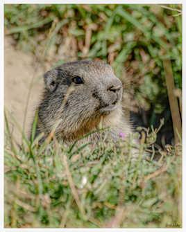 Marmotte du Mercantour