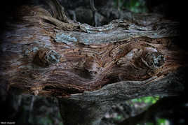 Kerangat (Korrigan of the trunks)