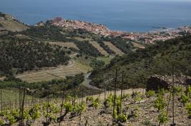 La vigne se découvre d'un fil