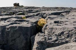 fleurs dans lapiaz, plateau de Burren