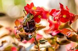 Sauterelle Se Reposant Sur un bouquet de fleurs