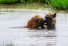 il y a de la hyènes et du plaisir