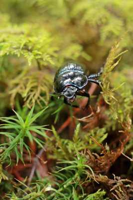 Petit scarabée..!