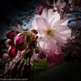 Cerisier 1