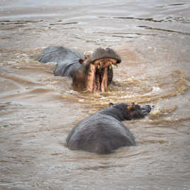 Discussion entre hippos