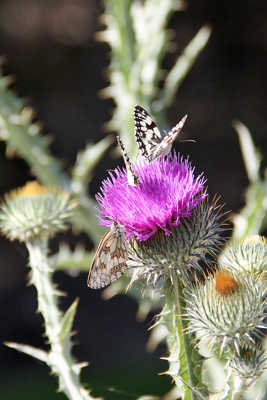 Trois papillons sur un chardon