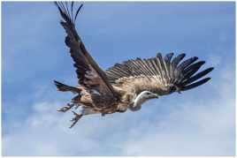 Détour de vautour