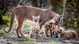 Famille cougar