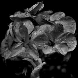 Géranium en pleurs