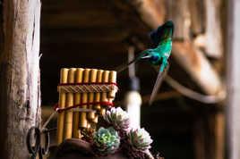 Colibri Acrobate et Musicien