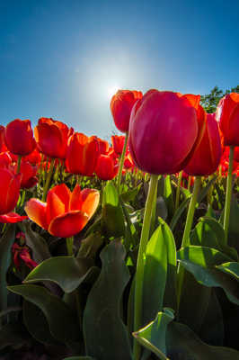 Au coeur des tulipes