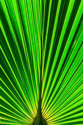 Les nervures d'une feuille de palmier