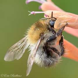l'abeille butineuse
