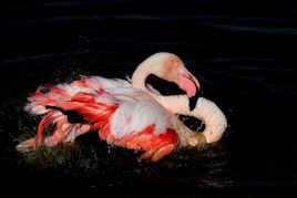 Flamant rose au bain