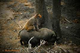 Rodéo Macaque/Cochon Vietnamien