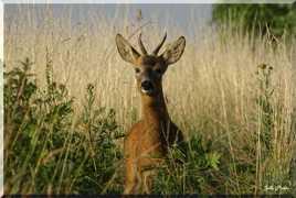 Le Chevreuil curieux