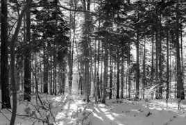 Forêt des Vosges sous la neige