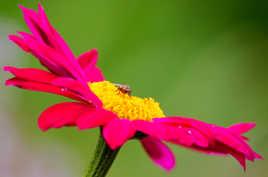 Fleur de Pyrèthre Visitée