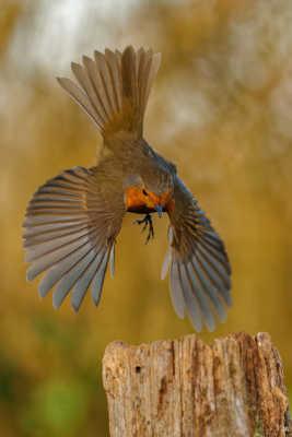 rouge gorge (atterrissage à pic)
