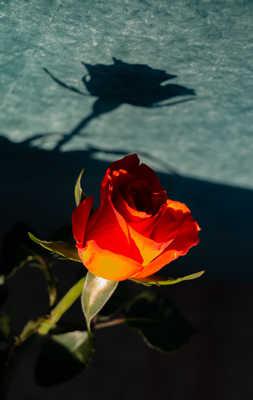 rose et son ombre