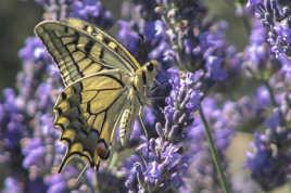 Papillon butineur