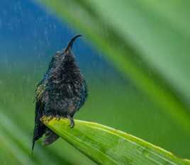 petit Colibri sous la pluie