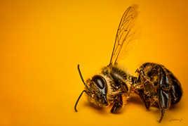 abeille morte