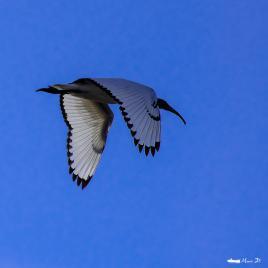 Ibis royal
