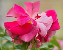 Rose ensauvagée