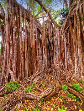 L'arbre à lianes