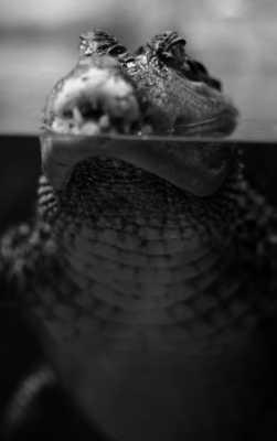 C'était le crocodile