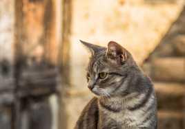 Le chat de Pérouge