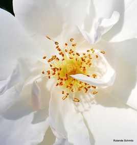 Coeur de rose blanche