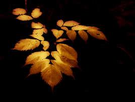 feuilles de feu