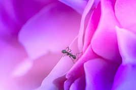 la rose et la fourmi