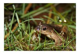 quand il pleut...y'a des grenouilles