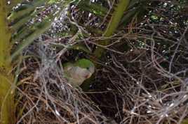 perruche verte  dans son nid