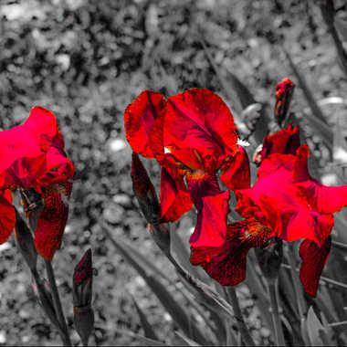 Iris  par brj01