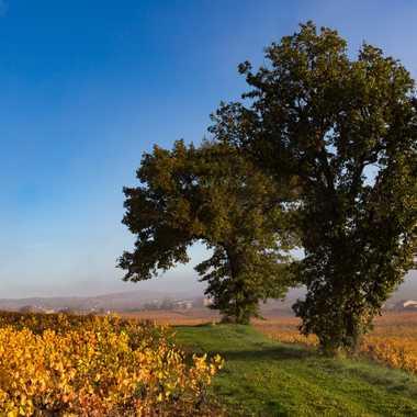 Chênes au milieu des vignes par patrick69220