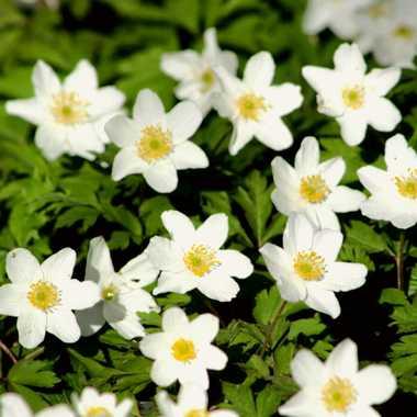 fleurs printanières par brj01