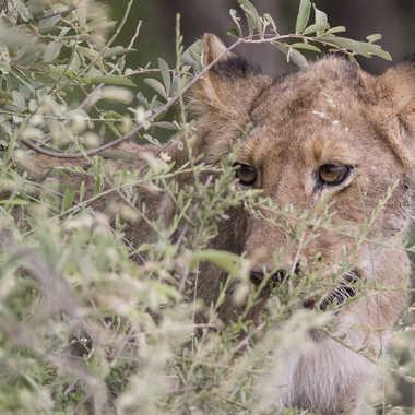 Lionceau par patrick69220
