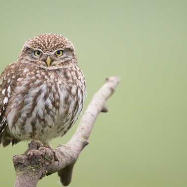 Chouette chevêche - Athene noctua - Little owl par solivier