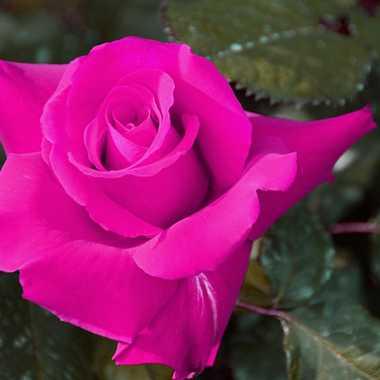 Rose 1 par mamichat
