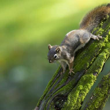 Écureuil par nortaillon