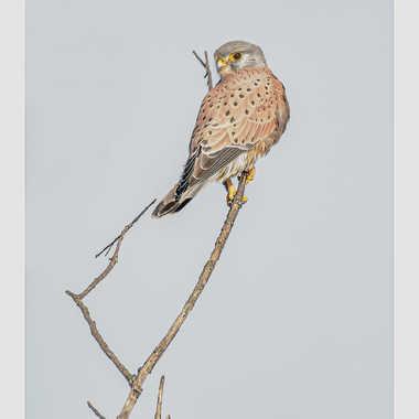 Faucon crecerelle par daniel13660