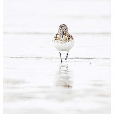 Bécasseau sanderling par daniel13660