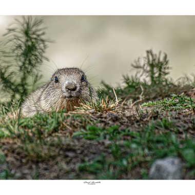 Face a face avec le Marmotton par daniel13660