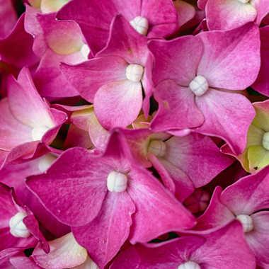 fleur d'hortensia rose par spiau