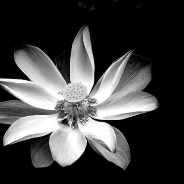 Lotus par mamichat